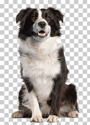 Border Collie Golden Retriever Pet Sitting PNG