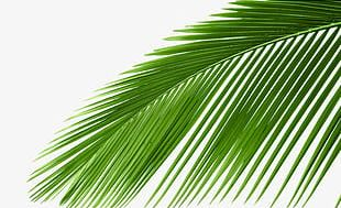 Coconut Tree Photos PNG