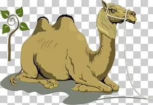 Bactrian Camel Dromedary Free Content PNG