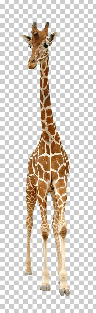 Reticulated Giraffe Stock Photography English PNG