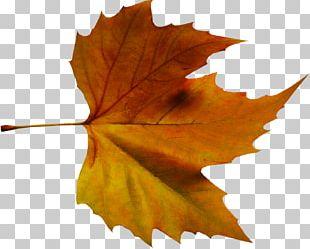 Maple Leaf Paginas Soltas Ao Vento: Poesia E Pensamentos Autumn Leaf Color PNG