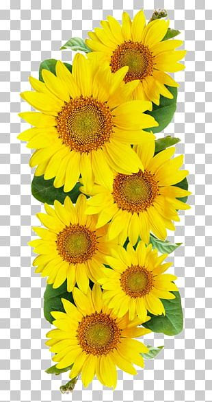 Common Sunflower Photography PNG
