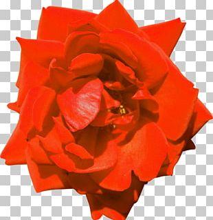 Garden Roses Floribunda PhotoScape Flower PNG