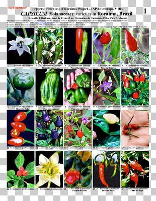 Bell Pepper Chili Pepper Plant Nightshade Capsicum Annuum PNG
