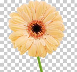 Daisy Family Chrysanthemum Flower Argyranthemum Frutescens Transvaal Daisy PNG