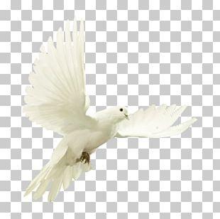 Columbidae Bird Domestic Pigeon Stock Photography PNG