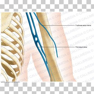 Posterior Compartment Of The Arm Nerve Coronal Plane Augšdelms Elbow PNG