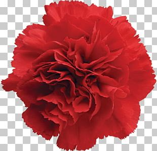 Carnation Cut Flowers Garden Roses Red PNG