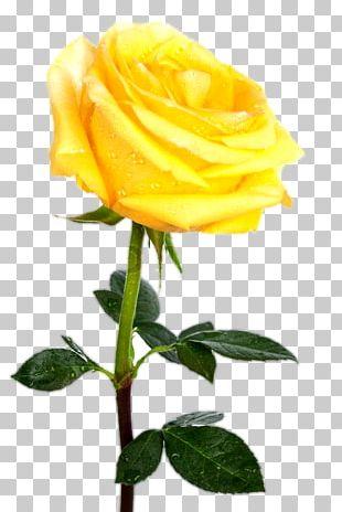 Rose Stock Photography Yellow Desktop PNG