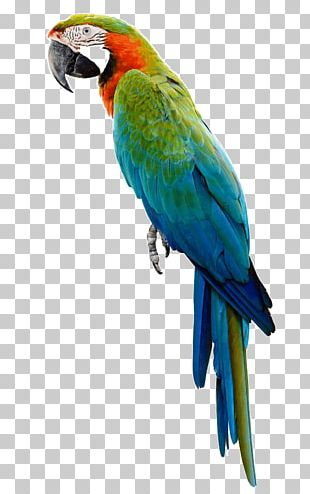 Companion Parrot Bird Budgerigar Macaw PNG