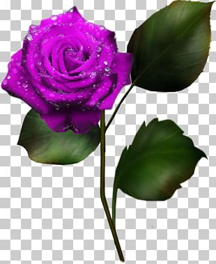 Garden Roses Cabbage Rose Cut Flowers Character Structure Plant PNG