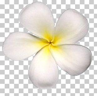 Petal Frangipani Maui Flower Photography PNG