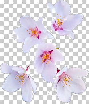Cherry Blossom Flower Paper PNG