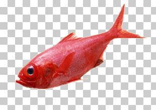 Carassius Auratus Deep Sea Fish Red PNG
