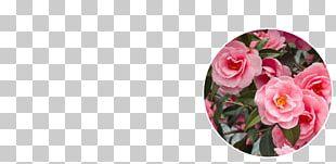 Garden Roses Floral Design Cut Flowers Petal PNG
