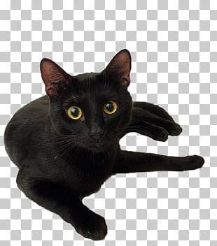Black Cat Black Panther Kitten Le Chat Noir PNG