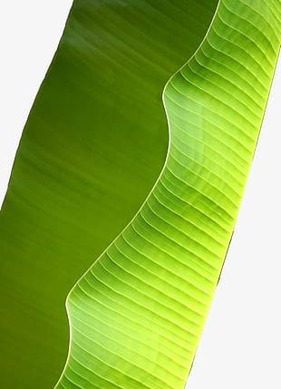 Green Banana Leaves Decorated PNG