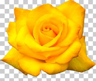 The Yellow Rose Of Texas Flower Desktop PNG