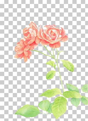 Garden Roses Watercolor Painting Illustration PNG