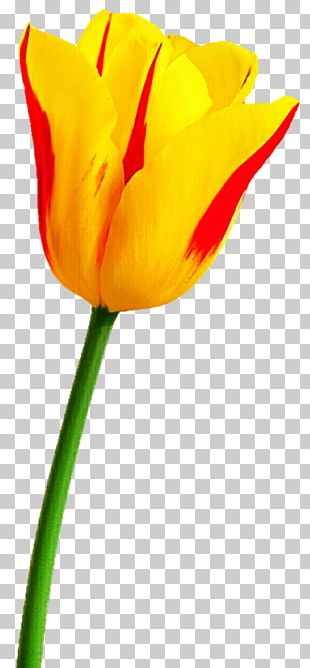 Tulip Pink Flowers PNG
