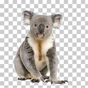 Koala Australia Stock Photography IStock Male PNG