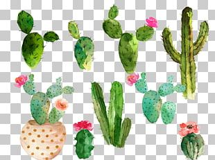Cactaceae Watercolor Painting Drawing PNG
