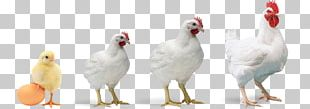 Rooster Chicken Broiler Poultry Farming PNG