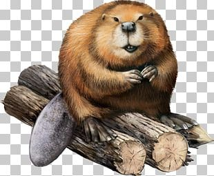 North American Beaver Stock Illustration Illustration PNG