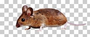 Brown Rat Rodent Rats And Mice Mouse Squirrel PNG
