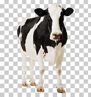 Holstein Friesian Cattle Gyr Cattle Milk Dairy Cattle PNG