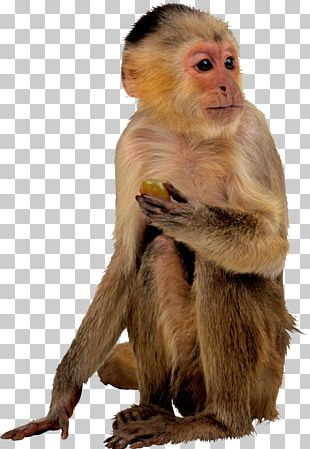 Ape Monkey Computer Icons PNG