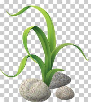 Algae Drawing Seaweed PNG