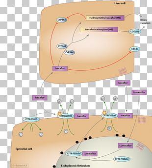 Lumacaftor/ivacaftor Pharmacodynamics Cystic Fibrosis Transmembrane Conductance Regulator Pharmacokinetics PNG