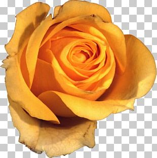 Flower Garden Roses Yellow Beach Rose Petal PNG