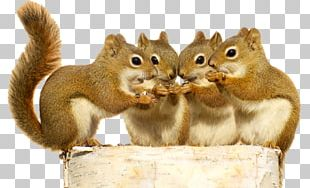 Red Squirrel Stock Photography Rodent The Schemer PNG
