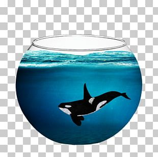 Captive Killer Whales Dolphin Cetacea PNG