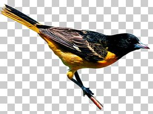 New York City Bird Finch Yellow-throated Warbler Baltimore Oriole PNG
