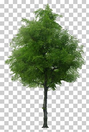 English Oak Tree Norway Maple Stock Photography PNG