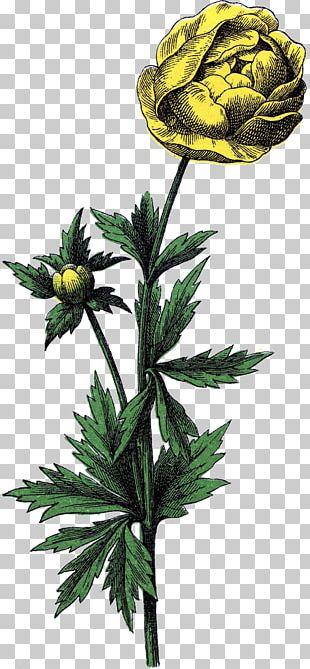 Flower Trollius Botanical Illustration Drawing PNG