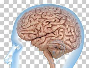 Human Brain Anatomy Human Body Knee PNG