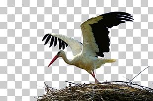 White Stork Bird Crane Wader Animal Migration PNG