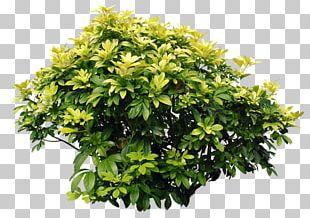 Shrub Bougainvillea Tree PNG