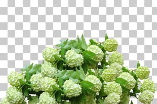 French Hydrangea Shrub Flower Panicled Hydrangea Portable Network Graphics PNG