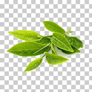 Green Tea Leaf Herb Extract PNG