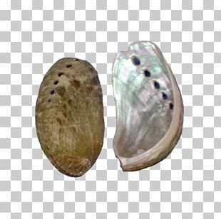 Seashell Red Abalone Haliotis Fulgens Monetaria Moneta PNG