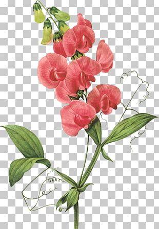 Broad-leaved Sweet Pea Flower PNG