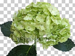 Green French Hydrangea Flower Color Petal PNG