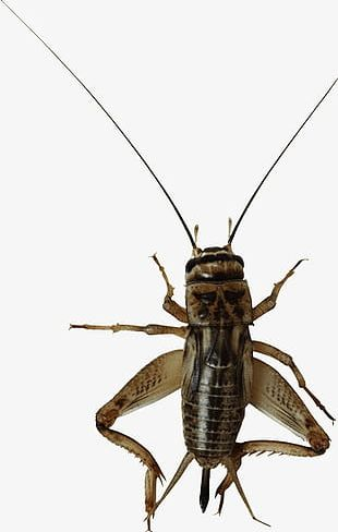 Insect Cricket PNG