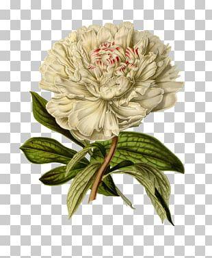 Botanical Illustration Printmaking Flower PNG