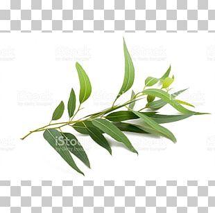English Lavender Eucalyptus Radiata Eucalyptus Globulus Eucalyptus Smithii Eucalyptus Oil PNG
